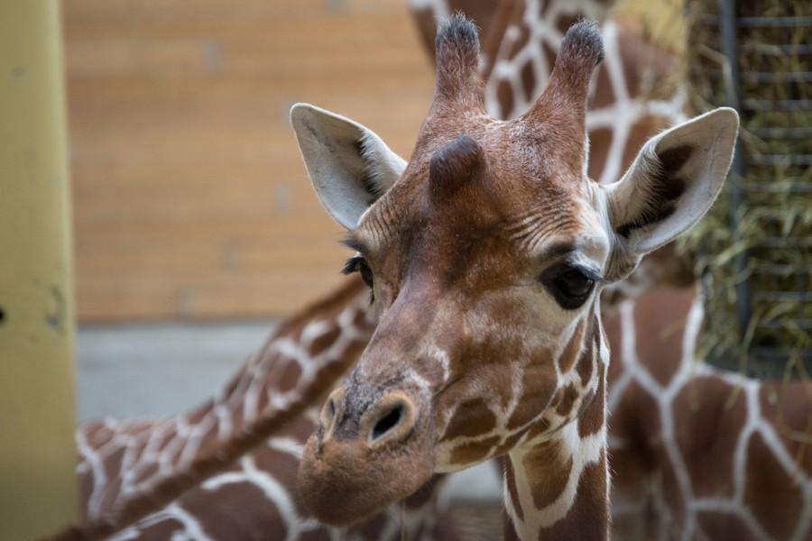 Giraffe in Diergaarde Blijdorp