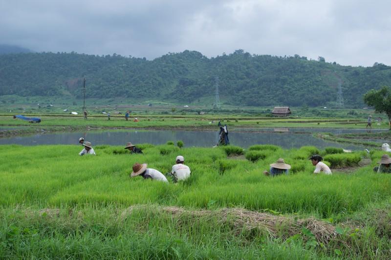 Rijstvelden Hsipaw